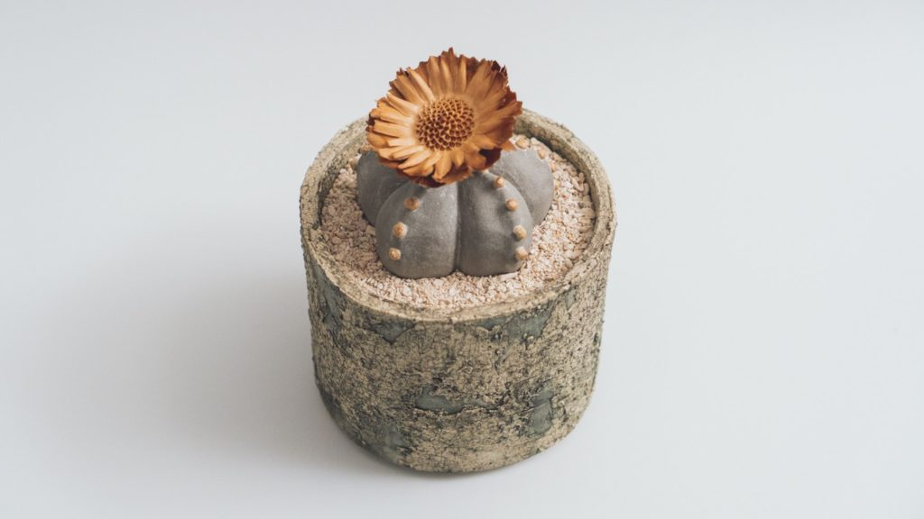 陶植アストロフィツム