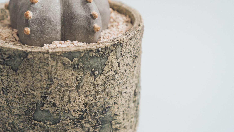 陶植アストロフィツムの鉢