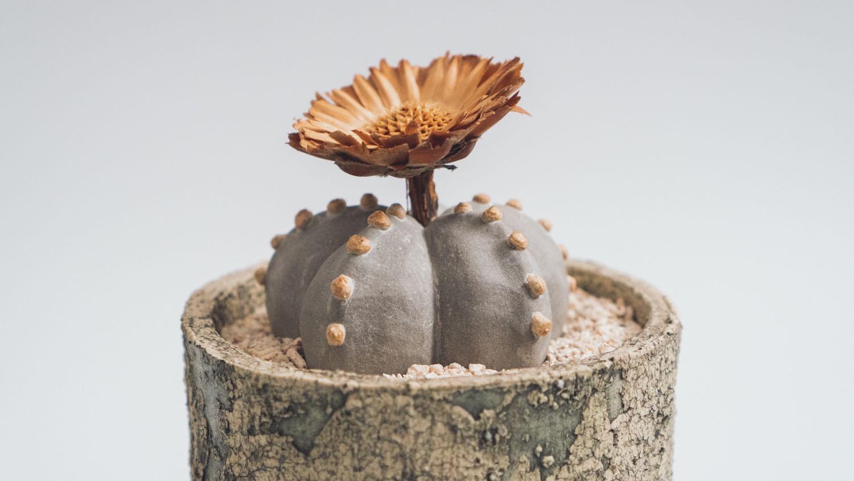 陶植アストロフィツムに挿したドライフラワー